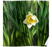 Blooming narcissus in garden at the springtime Poster