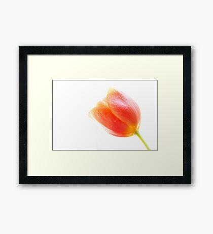 Isolated tulip Framed Print