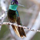 Magnificent Hummingbird  by Dennis Cheeseman