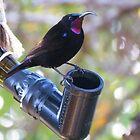 Black sunbird.  by Elizabeth Kendall