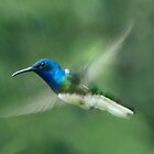 White necked Jacobin male hummingbird by Linda Sparks