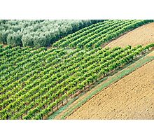 Olives, Vines, and ... Photographic Print