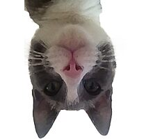 Crazy Gracie Upside Down Kitty Photographic Print
