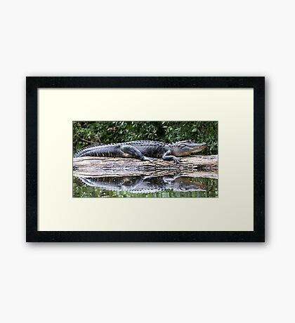 Gator on a Log Framed Print