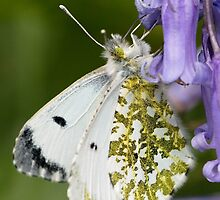 Female Orange-tip Butterfly by Neil Bygrave (NATURELENS)