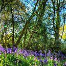 Bluebells by Nigel Bangert