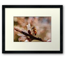 bee on peach blossom in spring Framed Print