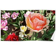 Pretty Pink Tulip in Full Bloom Poster
