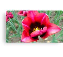 Colourful Tulip Close Up Canvas Print