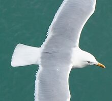 Arctic Gull by DPalmer