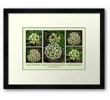 Antelope Horns – Green-Flowered Milkweed – Spider Milkweed Framed Print