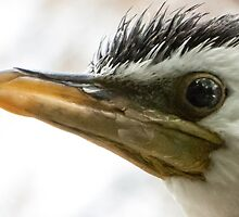 Little Pied Cormorant by DPalmer