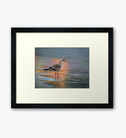 Young seagull at dawn Framed Print