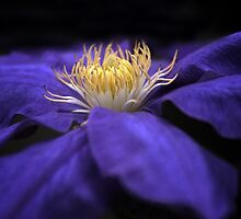 Moonlight Clematis by Jessica Jenney