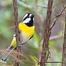 Western Shrike-Tit by mncphotography