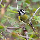 Western Shrike-Tit  2 by mncphotography