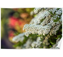 White Blooms in spring Poster