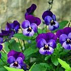 Purple Pansies...Lyme Dorset UK by lynn carter