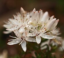 Calytrix in the Wet by kalaryder