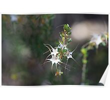 Stars from a Calytrix Poster