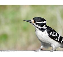 Female Hairy Woodpecker Photographic Print