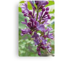 Early Lilac Canvas Print