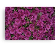 Purple mums in bloom Canvas Print