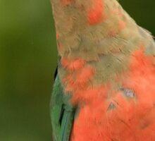 Male King Parrot Posing Sticker