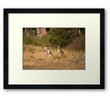 Trio of Posing Kangaroos Framed Print