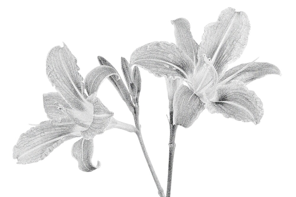 Tawny Daylily (digital drawing) by Stephen Frost