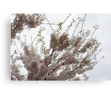 Springtime Abundance - Gently Pink Cherry Blossoms Canvas Print