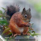 Red Squirrel in the Rain Argyll & Bute by Lynn Bolt