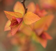 Fiery spring leaves by Judi Lion