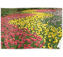 Rows of Tulips in Spring Poster