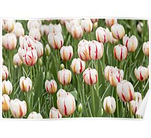 Tulips in spring time Poster