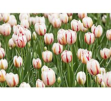 Tulips in spring time Photographic Print