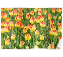 Tulips in the spring time Poster