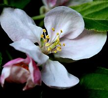Apple Blossom by karina5