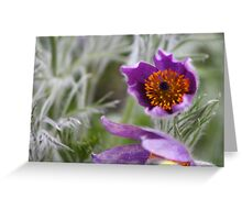 Pasque Flower - Pulsatilla Greeting Card