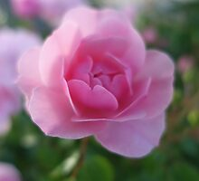 pretty pink rose flower photo. by naturematters