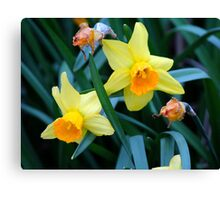 Fortune Daffodils Canvas Print