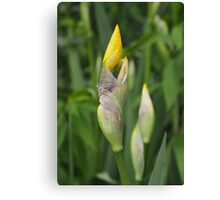 Yellow Iris Buds Canvas Print