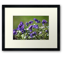 blue pansy flowers macro shot Framed Print