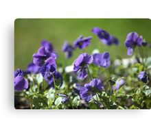 blue pansy flowers macro shot Canvas Print
