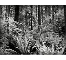 Ferns & Trees  Photographic Print