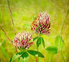 Wild Red Clover by Scott Mitchell