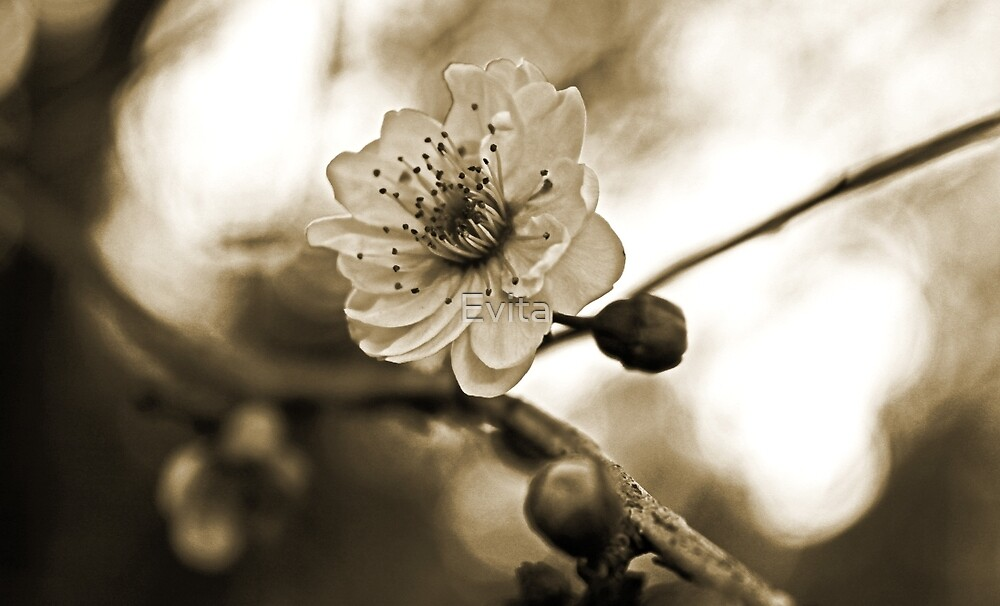 Cherry Blossoms in Sepia #2 by Evita