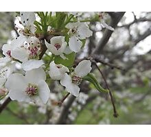Callery pear flower close up Photographic Print