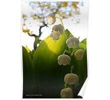 Convallaria Majalis - Lily Of The Valley Flower Filled With Sunrise | Melville, New York Poster