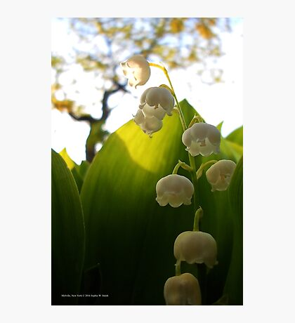 Convallaria Majalis - Lily Of The Valley Flower Filled With Sunrise | Melville, New York Photographic Print